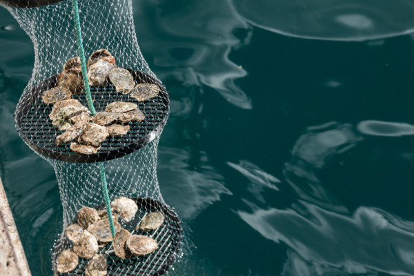 kiwa_oyster_urban_flavours
