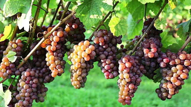 pinot-gris-vines-bunches-grapes-fruit-vineyard-urban-flavours