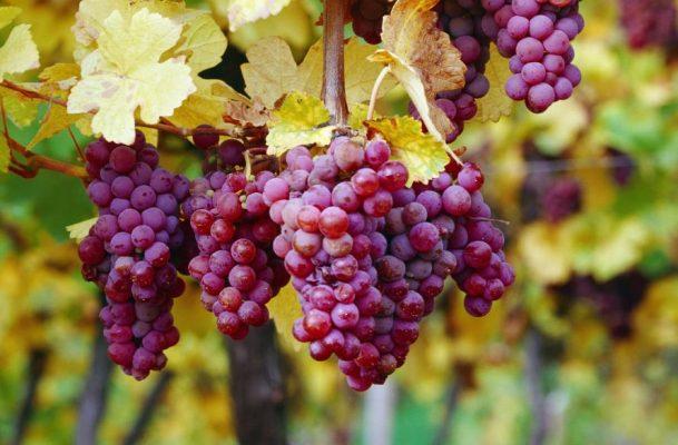 gewurz-gewurztraminer-traminer-grapes-urban-flavours