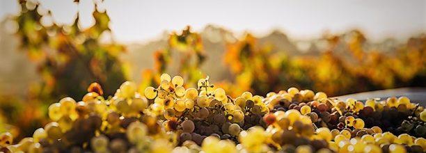 chardonnay-grapes-white-wine-urban-flavours
