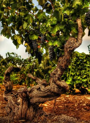 ancient-vine-urban-flavours